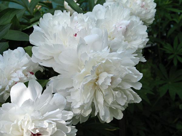 белый нефрит пион