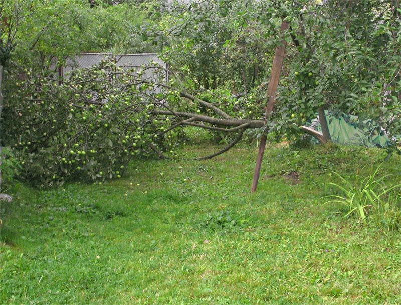 Упавшая яблоня