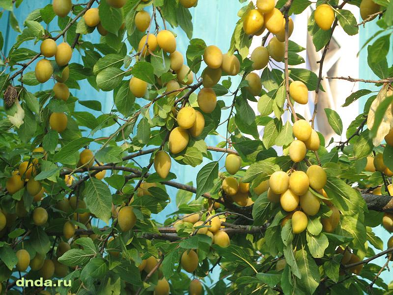 Урожай желтой сливы