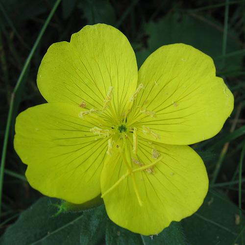 Цветы дачные желтые