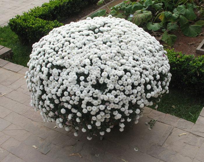 хризантемы фото кустовые