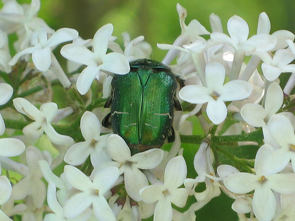 Июньский жук