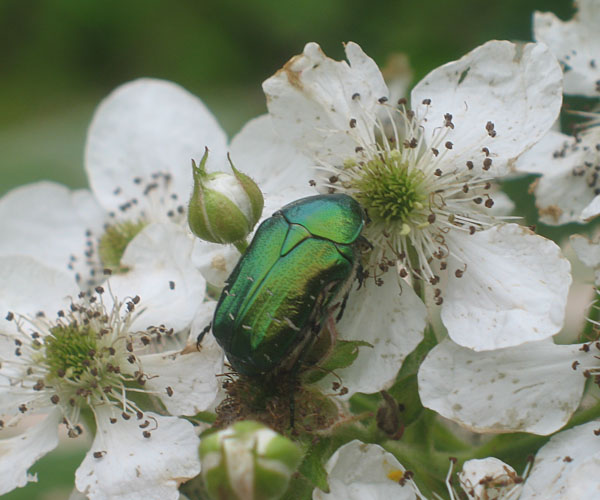 Июньский жук на ежевике